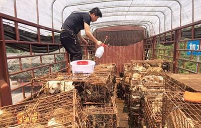 江苏佛教团体护生园约5名义工,以狗肉节前盖一星期,起狗贩的屠刀下救走499但狗。