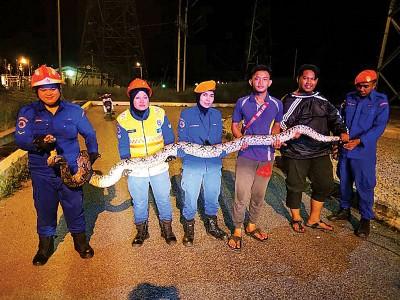 民防局队员在大众协助下,抓一只40公斤重巨蟒。