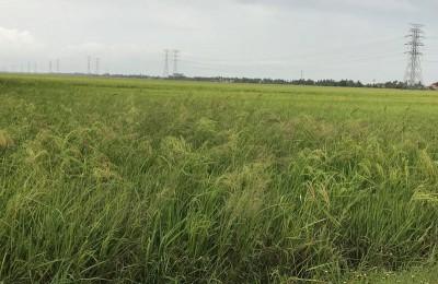 吉打州3个水坝贮水量处于足够及安全水平,以作为种稻灌溉用途。