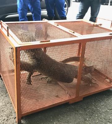 民防部队最终将四脚蛇捕捉入笼。
