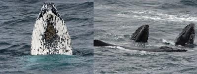 """(左)海底山群吸引28才座头鲸到来。(右)其余来""""凑热闹""""的还有长肢领航鲸。"""