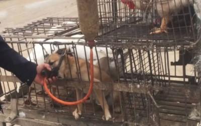 """无良狗贩为多赚几十元,强行插喉管灌水为狗狗""""增重"""",被网友斥为恶魔。 (取材自凤凰网)"""