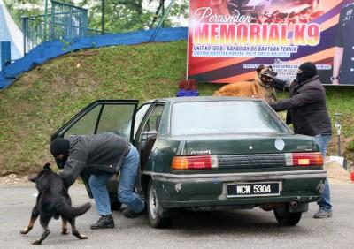 警犬在演习活动中,协助警察拘捕匪徒。
