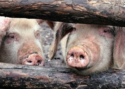 神州非洲猪瘟疫情持续蔓延。
