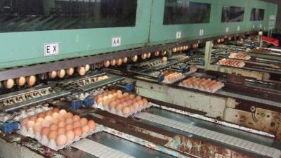 蛋鸡业要大事发展,必须投下庞大资金以科技化作业,包括有分蛋级别机。
