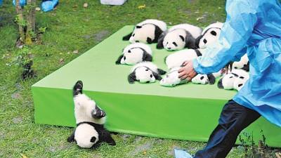 曼市认养的大熊猫,就是这个首次亮相,摔成2016世界最佳照片的小家伙,原名福顺,有个双胞胎妹妹福来。