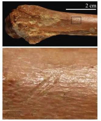 考古工作者挖掘出有刻痕的动物骨头。