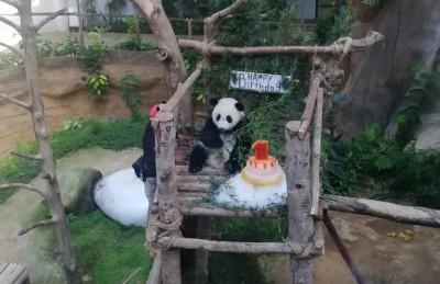 """""""暖暖妹妹""""满1岁噜,国家动物园特精心准备冰蛋糕为它庆生。"""