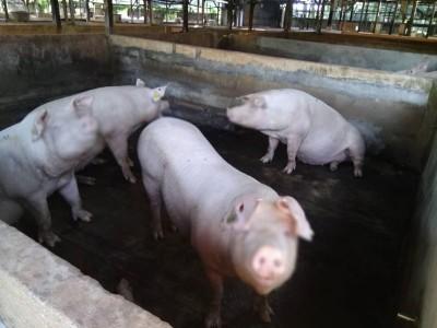 我国猪肉均属安全,没有非洲猪瘟病菌。