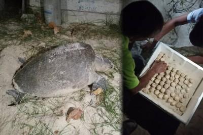 (左)槟岛西南区公巴海尾海滩,引来珍贵的太平洋丽龟上岸产蛋 。(右)渔业局官员依据程序处理丽龟蛋。