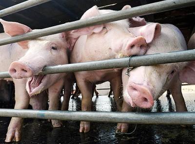 中国非洲猪瘟疫情蔓延至24个省市。