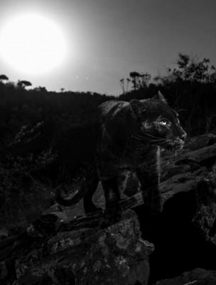 生物学家在非洲肯亚拍摄到罕见的黑豹身影。(图源:Will Burrard-Lucas)