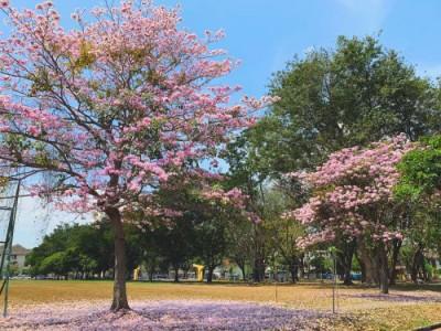 """槟州有望打造为全马首个""""赏樱""""之地。"""
