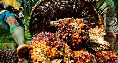 去年棕油跌价使得小园主受到冲击,只有数家大公司能从棕油获利。